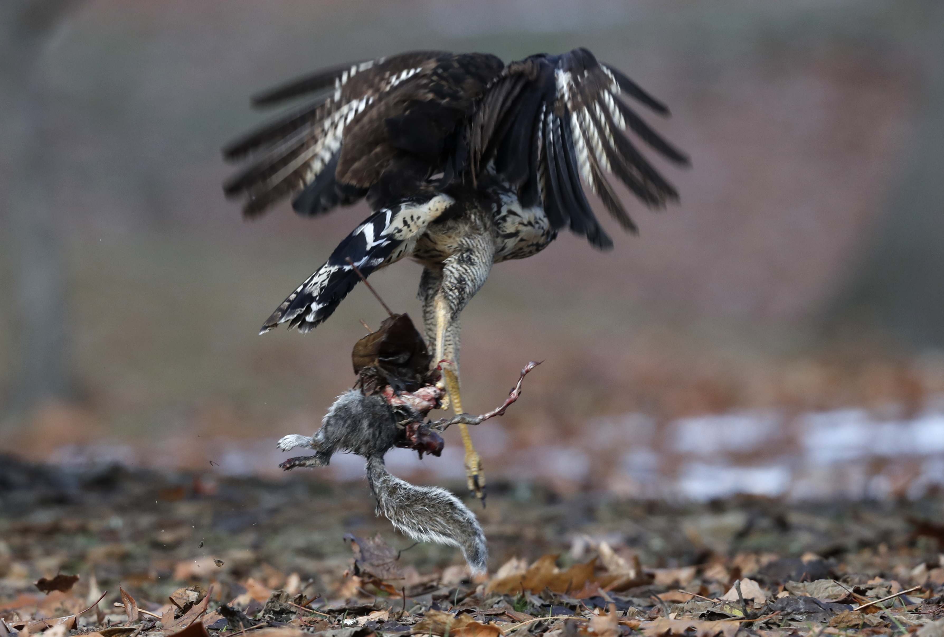 A great black hawk, a native of Central and South America, takes off with a gray squirrel at Deering Oaks Park, Friday, Nov. 30, 2018, in Portland, Maine. Audubon has called it potentially the first record of the species in the U.S. (AP Photo/Robert F. Bukaty)