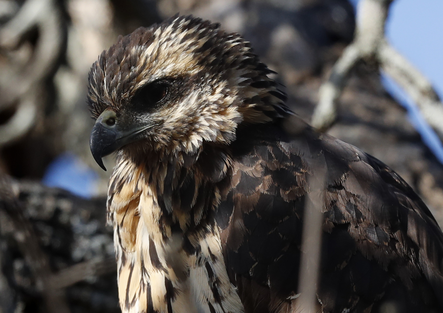 A great black hawk, a native of Central and South America, sits in a tree at Deering Oaks Park, Friday, Nov. 30, 2018, in Portland, Maine. The bird drew hundreds of birders with binoculars and cameras to the park. (AP Photo/Robert F. Bukaty)
