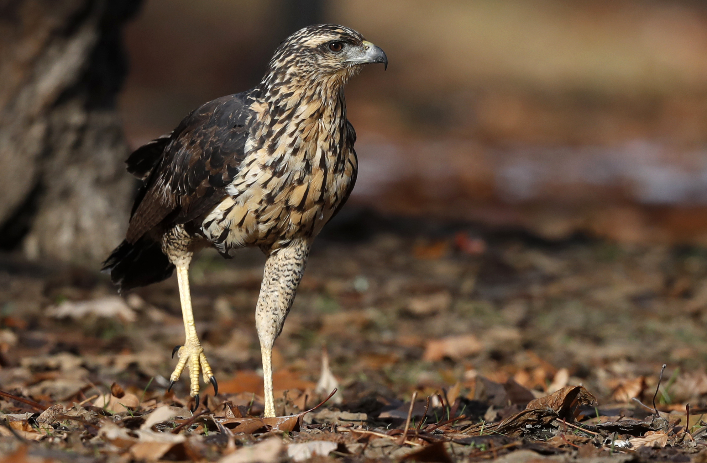A great black hawk, a native of Central and South America, prowls the grounds of Deering Oaks Park, Friday, Nov. 30, 2018, in Portland, Maine. Audubon naturalist Doug Hitchcox said the young bird appeared to be in good health and in the process of molting. Maine residents sometimes sees rare birds, he said, but